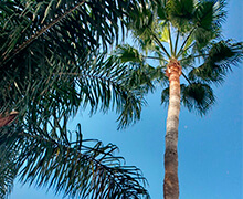 Clean palm pruned
