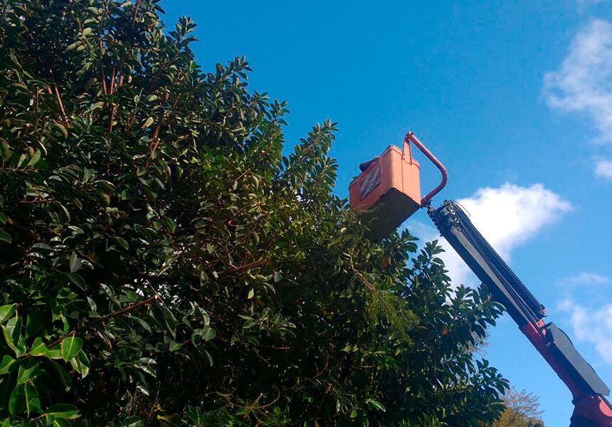 Limpieza, tala, poda de árboles grandes y altos en Marbella